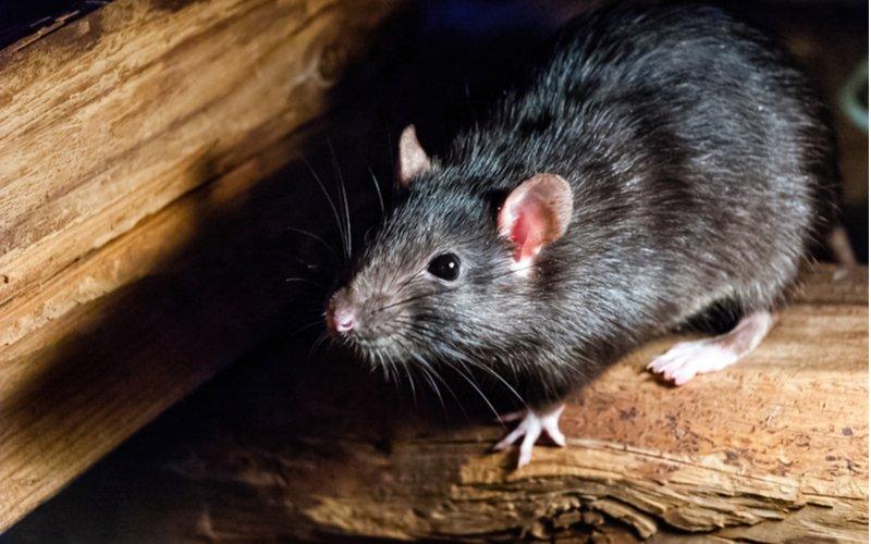 Potkan tmavý, Rattus rattus, ľudovo krysa