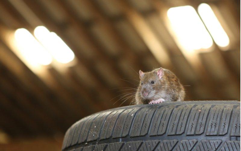 Potkan v aute, na pneumatike