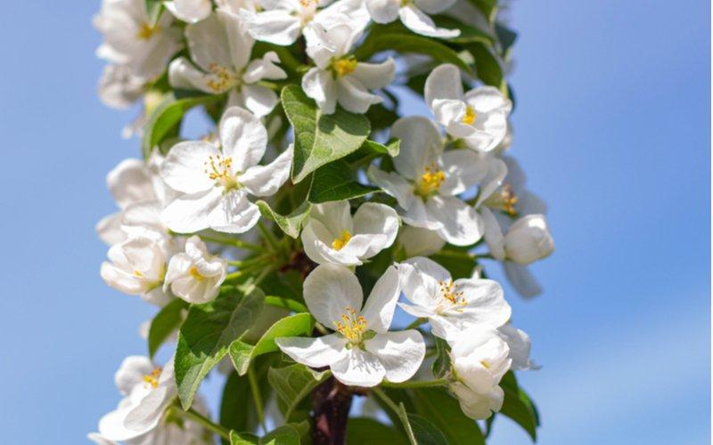 Kvitnúca stĺpovitá jabloň