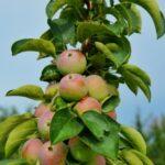 Stĺpovité ovocné stromy - aké sú ich výhody a ako sa o ne starať? + skúsenosti s ich pestovaním