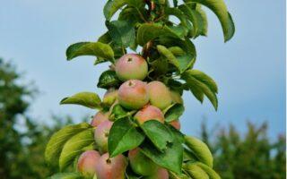 Stĺpovité ovocné stromy - jabloň