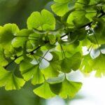 Pestovanie stromu ginko biloba - ako na to?
