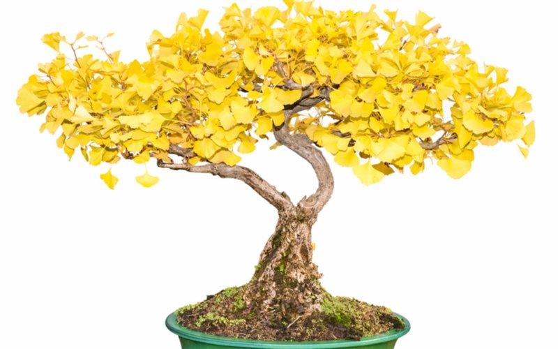 Gingko - pestovanie ako bonsai