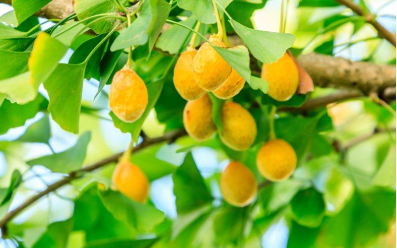 Plody gingko biloba