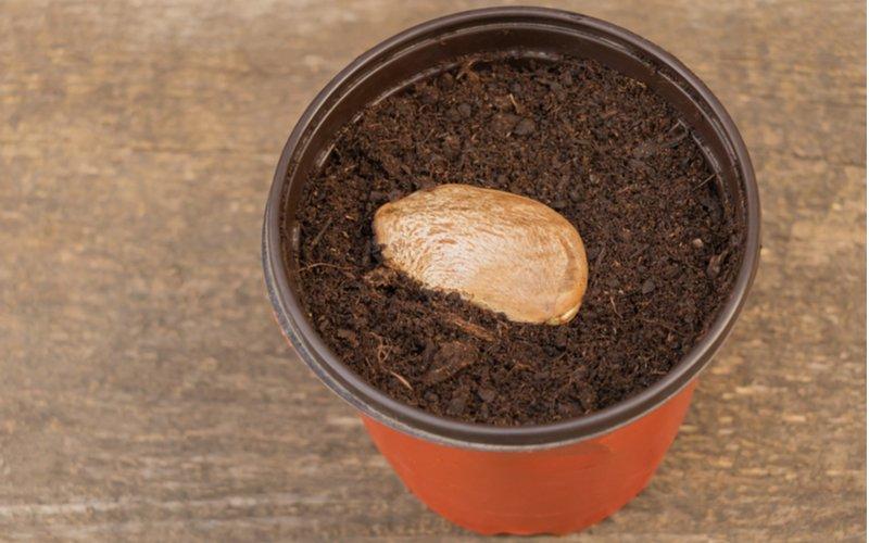 Semeno manga v pode